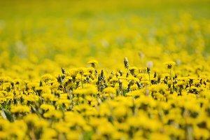 Dandelion flower meadow