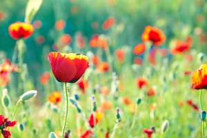 Beautiful red poppies on field