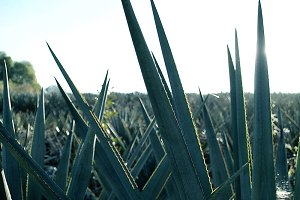 plant for the production of tequila.