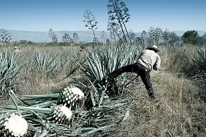 Man working in the tequila industry
