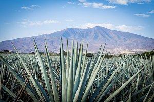 Agave tequila landscape guadalajara.