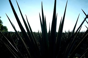 Detail of the sword of blue agave