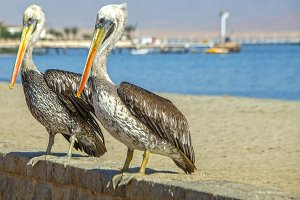 Two Peruvian pelicans