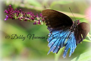 Butterfly -Blue and Brown