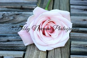 Pink rose on bench-front view
