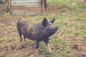 Happy organic pig