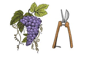 grape and scissors hand drawn engraved old looking vintage illustration
