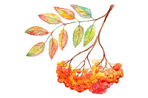 Watercolor rowan ashberry branch