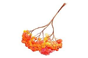 Watercolor rowan ashberry branch