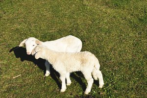 Two young sheeps