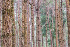 trunks of tall trees in pine fore