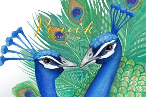 Watercolor Peacock Clipart Images