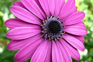 Purple african daisy (dimorfotecas)