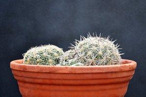 Cactus on clay pot