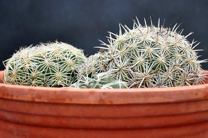 Round cactus on clay pot