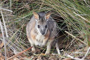 Tammar Wallaby (Macropus eugenii)