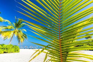 Green palm tree on tropical beach in Maldives