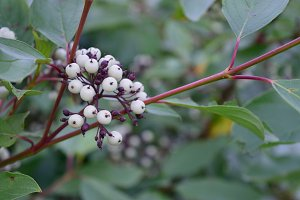 Red Osier Dogwood Berries