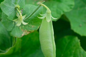 Garden Sweet Pea Detail