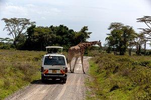 Masai Mara, Kenya - 04 January: Giraffe walking along the road i
