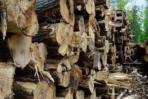 Trembling Aspen on Log Landing