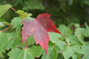 Red Maple Leaf Turning Colors