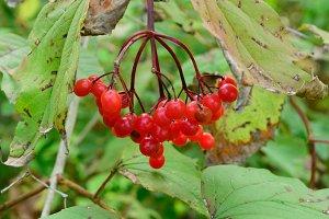 Wild Highbush Cranberries
