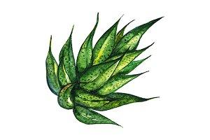 Watercolor succulent agave aloe art