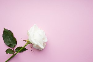 White rose on pink background