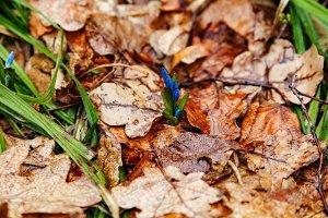 Small blue snowdrops in spring