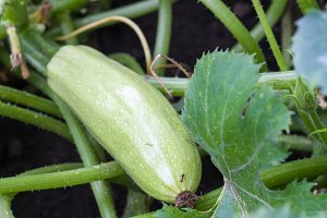 squash growing on a bush in the garden