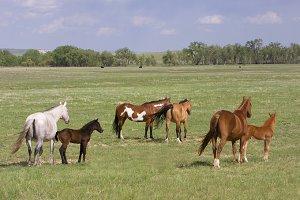 Quarter Horses - Mares and foals