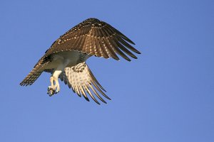 American Osprey in Flight