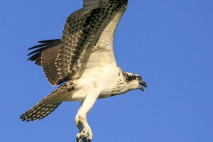 Osprey (Vertical-see full image)