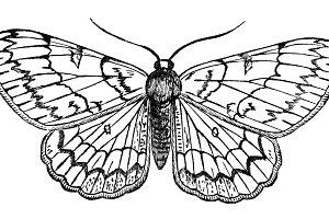 Butterfly Vintage Illustration