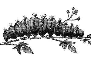 Caterpillar Vintage Illustration