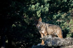 Iberian wolf on a rock in the forest