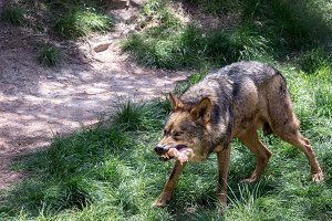 Iberian wolf eating with big fangs
