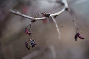 barberry branch in spring with dry berries