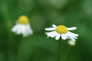 daisy flowers on summer meadow closeup macro shot