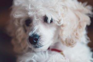 Dwarf poodle puppy