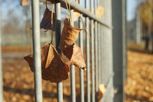 leaves &fence