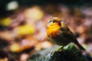 Autumn Robin on Rock