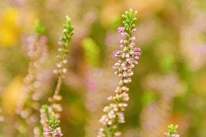 Blooming heather flowers