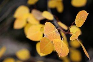 Aspen leafs