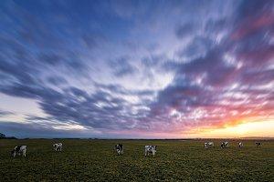 Cows Enjoying Sunset