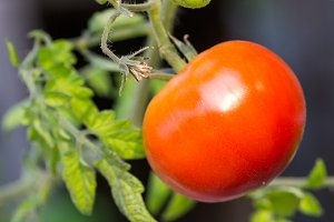 Red tomato on vine