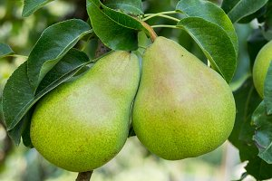 Bartlett pears on the tree