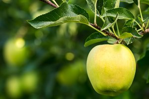 Golden Delicious apple on the tree