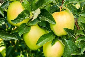 Yellow apples in the orchard